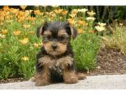 yorkie puppies available EMAIL ME ON (kenowen14@ovi.com)